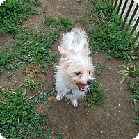 Terrier (Unknown Type, Small)/Chihuahua Mix Dog for adoption in New Windsor, New York - WYATT