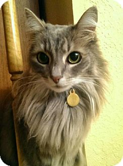 Maine Coon Cat for adoption in Mountain View, California - Sophie