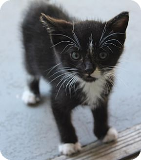 Domestic Shorthair Cat for adoption in Los Angeles, California - Moo