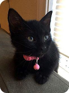 Domestic Shorthair Kitten for adoption in Fort Leavenworth, Kansas - Tar