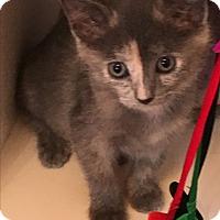 Adopt A Pet :: Elsa BABY KITTEN SIBLING PAIR - Burbank, CA