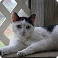 Adopt A Pet :: Yang - Norman, OK