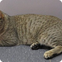 Bengal Cat for adoption in Witter, Arkansas - Isabelle (purebred Pixie-bob)