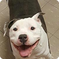 Adopt A Pet :: Romeo - Las Vegas, NV