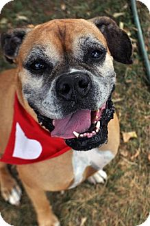 Boxer Mix Dog for adoption in Fairfax Station, Virginia - Loralie