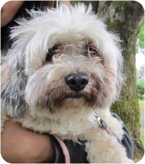 Shih Tzu Mix Dog for adoption in Vancouver, British Columbia - Teddi - I don't shed