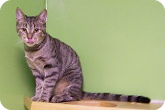 Domestic Shorthair Cat for adoption in Dover, Ohio - Tessa