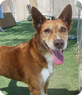 Cattle Dog Mix Dog for adoption in Phoenix, Arizona - Blaze