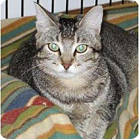 Domestic Shorthair Cat for adoption in Lafayette, Louisiana - Diamond