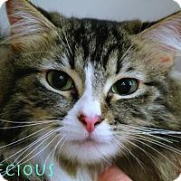 Adopt A Pet :: Precious-12967 - Richardson, TX
