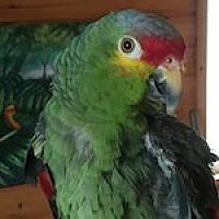 Adopt A Pet :: Roscoe - Asheville, NC