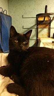 Domestic Shorthair Cat for adoption in Brainardsville, New York - Chelsea