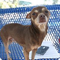 Adopt A Pet :: Dandy - Chula Vista, CA
