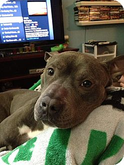 American Pit Bull Terrier Mix Dog for adoption in Baltimore, Maryland - Icy (COURTESY POST)