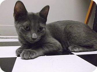 Domestic Shorthair Kitten for adoption in Farmington Hills, Michigan - Flash