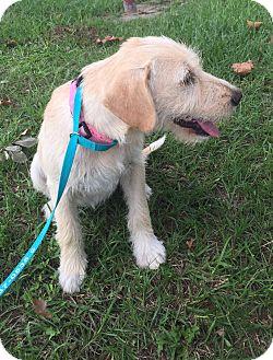 Terrier (Unknown Type, Medium)/Labrador Retriever Mix Puppy for adoption in Seattle, Washington - Kiki
