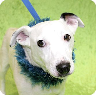 Parson Russell Terrier Mix Dog for adoption in Jackson, Michigan - Olaf