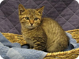 Domestic Shorthair Kitten for adoption in Redwood Falls, Minnesota - Trevor