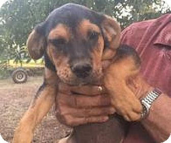 Rottweiler Mix Puppy for adoption in Patterson, New York - Otis