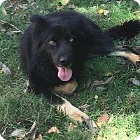 Newfoundland/Australian Shepherd Mix Dog for adoption in Florence, Kentucky - Bo