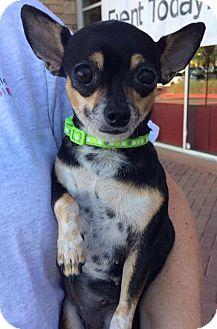Chihuahua Dog for adoption in Phoenix, Arizona - JENNA