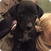 Adopt A Pet :: Pluto (DENVER) - Fort Collins, CO