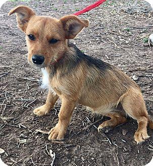 Terrier (Unknown Type, Small) Mix Puppy for adoption in Mesa, Arizona - Tia