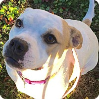 American Bulldog Mix Dog for adoption in Corning, California - NO FEE - Sheera