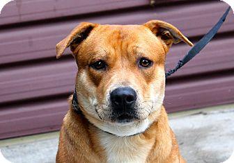 Labrador Retriever/Corgi Mix Dog for adoption in Los Angeles, California - Guido
