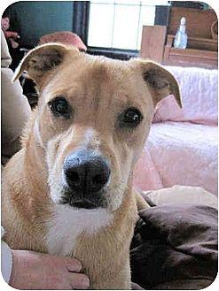 Carolina Yellow Dog Adoption
