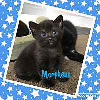 Adopt A Pet :: Morpheus - Mount Laurel, NJ
