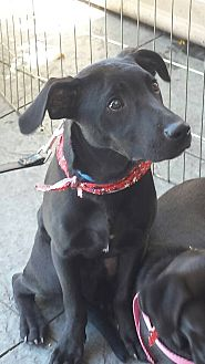 Labrador Retriever Mix Puppy for adoption in San Diego, California - Mickey