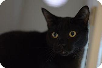 Domestic Shorthair Cat for adoption in Gainesville, Florida - Salem