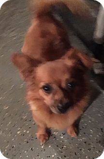 Pomeranian/Chihuahua Mix Dog for adoption in Gilbert, Arizona - Gavin