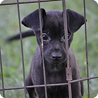 Chihuahua Mix Puppy for adoption in Pikeville, Maryland - Coal