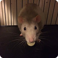 Rat for adoption in Ann Arbor, Michigan - Lestat