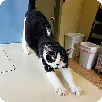Domestic Shorthair Cat for adoption in Indianola, Iowa - C-22