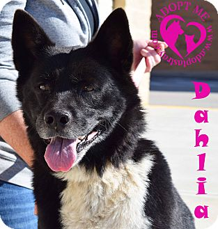 Akita/Border Collie Mix Dog for adoption in Newport, Kentucky - Dahlia