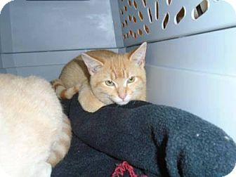 Domestic Shorthair Kitten for adoption in THORNHILL, Ontario - Heath