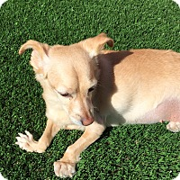 Terrier (Unknown Type, Small)/Chihuahua Mix Dog for adoption in Las Vegas, Nevada - Maria