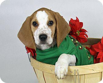 Coonhound/Basset Hound Mix Puppy for adoption in Joliet, Illinois - Cyrus