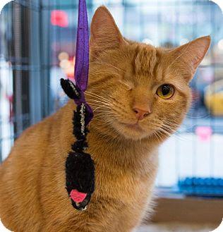 Domestic Shorthair Kitten for adoption in New York, New York - Ace