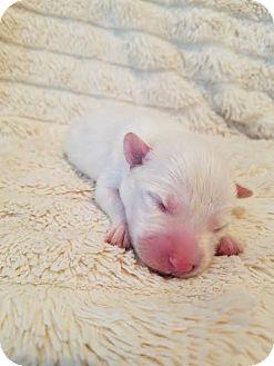 Border Collie Mix Puppy for adoption in Alpharetta, Georgia - QueenClarion