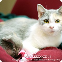Adopt A Pet :: Snickerdoodle - Appleton, WI