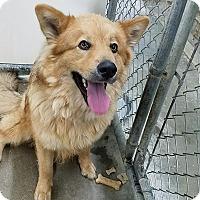Adopt A Pet :: Golden (Yodi) - California City, CA