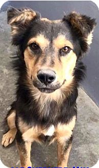 Collie/Australian Shepherd Mix Dog for adoption in Wytheville, Virginia - Captain
