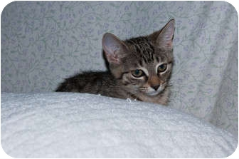 Domestic Shorthair Kitten for adoption in New Egypt, New Jersey - Stripes