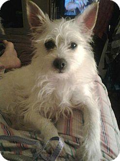 Harry | Adopted Dog | Sherman Oaks, CA | Westie, West ...