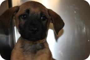 Shar Pei/German Shepherd Dog Mix Puppy for adoption in Marlton, New Jersey - Jules