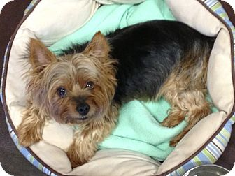 yorkie rescue missouri meisha adopted dog kansas city mo yorkie yorkshire 7040
